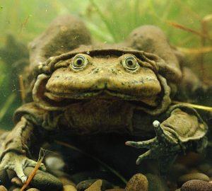 żaby z j. Titicaca